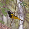 2017_ Scott's oriole_ Ash Canyon_ AZ_ April_IMG_6833