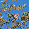 2017_ lark sparrow_Tubac_AZ_ April_IMG_9450