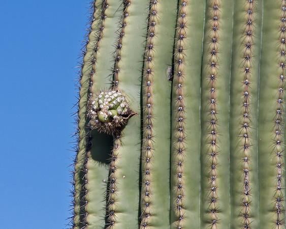 2017_ saguaro_Saguaro Natl Park_ April_IMG_0342