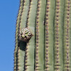 2017_ saguaro_Saguaro Natl Park_ April_IMG_0342