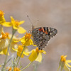 2017_ painted lady_Saguaro Natl Park_AZ_April_IMG_7272
