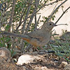 2017_ canyon towhee_ Ash Canyon_ AZ_April_IMG_6893