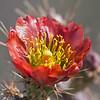 2017_ cholla bloom_Saguaro Natl Park_AZ_April_IMG_0351