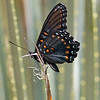 2017_ red-spotted purple_ Ramsey Canyon_AZ_April_IMG_7122