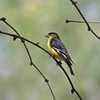 2017_ lesser goldfinch_ Tubac_AZ_ April_IMG_6079
