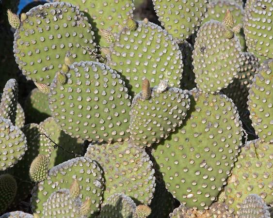 2017_ prickly pear cactus_ Tubac_ AZ_April_IMG_9453