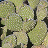 2017_ prickly pear cactus_ Tubac_ AZ_April_IMG_9453