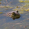 2017_ bullfrog_ San Pedro Riparian Area_ AZ_April_IMG_7004