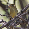 2017_ cordilleran flycatcher_Sabino Canyon_AZ_April_IMG_7479