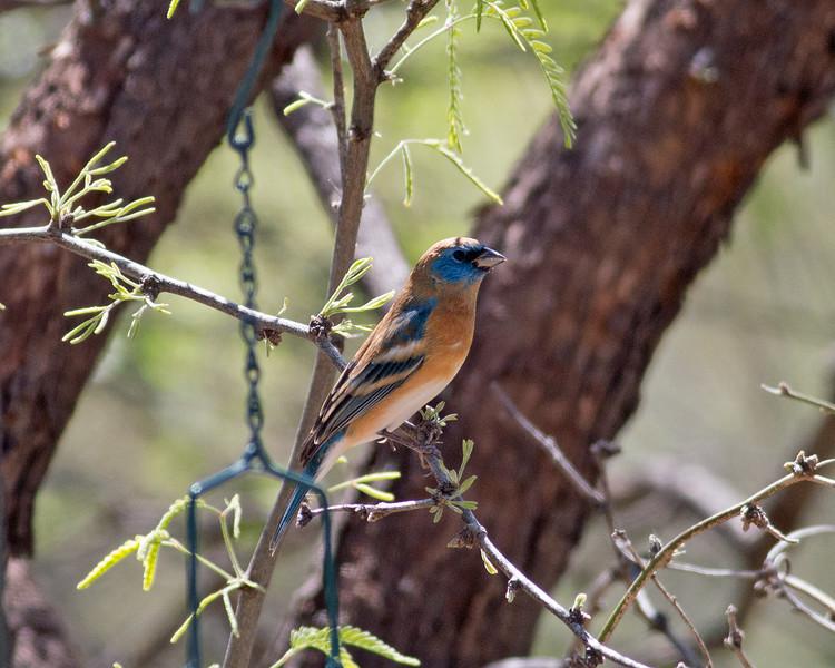 2017_ lazuli bunting_Patagonia_AZ_ April_IMG_6625