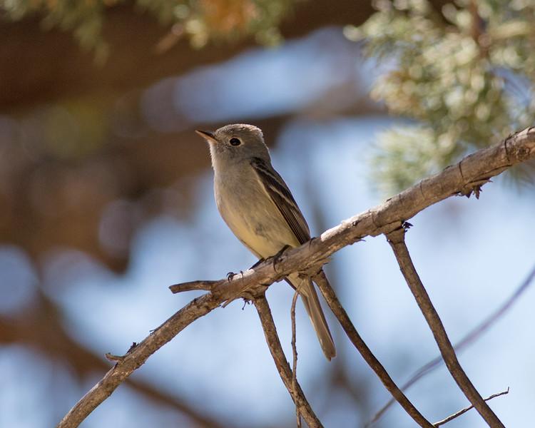 2017_ Cordillean flycatcher_ Madera Canyon_AZ_April_IMG_6379