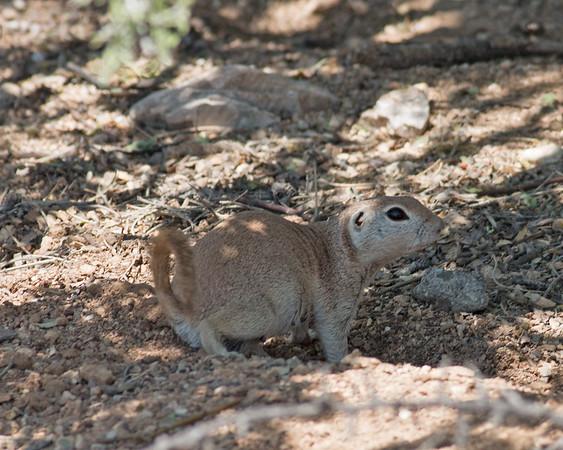 2017_ round-tailed squirrel_ Sabino Canyon_AZ_April_IMG_7499
