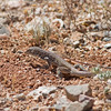 2017_ Sonoran spotted whiptail lizard anting_Saguaro Natl Park_AZ_April_IMG_7309