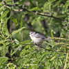 2017_ Lucy's warbler_ Tubac_AZ_ April_IMG_6128