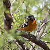 2017_ black-headed grosbeak_Ash Canyon_AZ_ April_IMG_6954