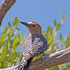 2017_ gila woodpecker_ Ash Canyon_ AZ_April_IMG_6996