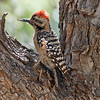2017_ ladder-backed woodpecker_ Patagonia_AZ_ April_IMG_6610