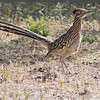 2017_ greater roadrunner_ Tubac_AZ_ April_IMG_6367