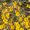 2017_ desert wildflowers_Saguaro Natl Park_AZ_ April_IMG_0320