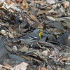 2017_ Grace's warbler_ Ramsey Canyon_upper_ April_IMG_6750