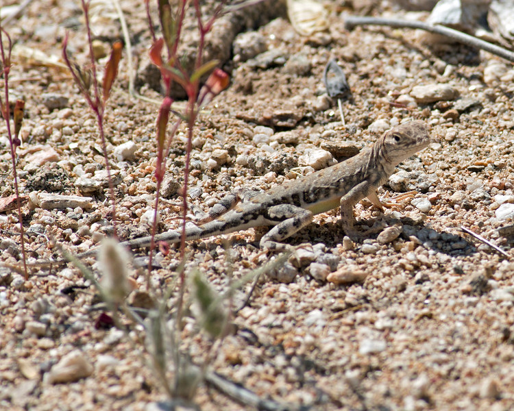 2017_ zebra-tailed lizard_Sabino Canyon_AZ_ April_IMG_7420