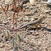 2017_ zebra-tailed lizard_Sabino Canyon_AZ_ April_IMG_7420