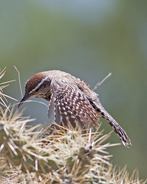 2017_ cactus wren building nest_ Sabino Canyon_AZ_April_IMG_7492