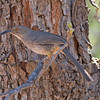 2017_ curve-billed thrasher_ Patagonia_AZ_April_IMG_6498