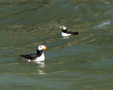 Horned Puffin (Fratercula corniculata)