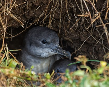 Wedge-tailed Shearwater (Puffinus pacificus)