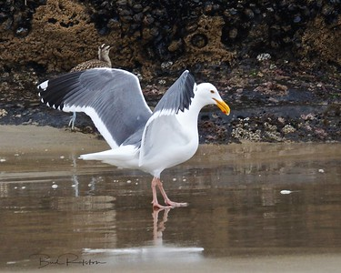 American Herring Gull or Smithsonian Gull (Larus smithsonianus)