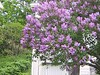 LILAC IN FULL BLOOM NEXT DOOR