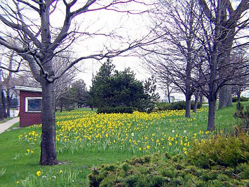THOUSANDS OF DAFFODILS EVERYWHERE IN SAINT JOHN