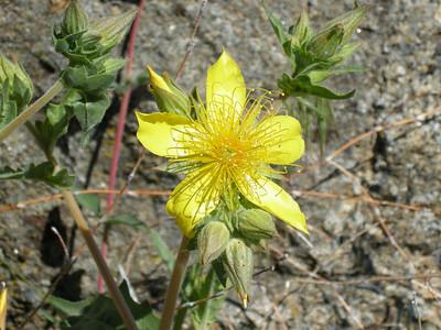 Roadside flower. Very showy!