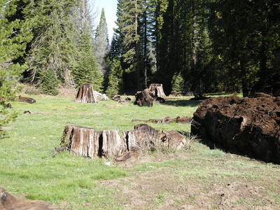 Young trees are slowly encroaching on the Stump Meadow area, and probably will have returned it to near its original look in a few hundred more years.
