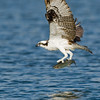 Osprey dive sequence 6 of 6