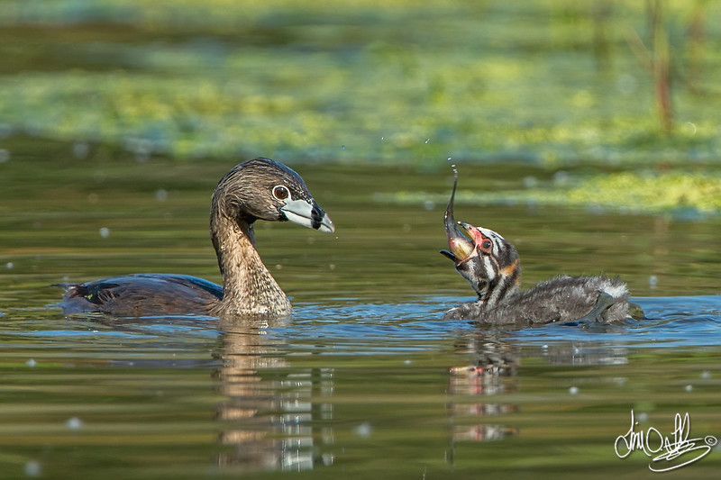 #5 in a behavioral series of 7<br /> <br /> Male Pied-billed Grebe bringing fish and feeding one of it's young