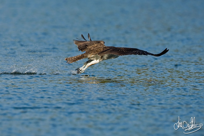 #5 in a 6 shot behavioral series<br /> <br /> Osprey cleaning its talons