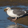 #15 in a 21 shot behavioral series<br /> <br /> A Western Gull with an Octopus, low tide feeding.<br /> Bolsa Chica Wetlands • Huntington Beach, CA