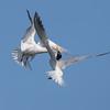 Elegant Tern Fight