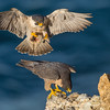 Peregrine Falcons mating