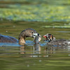 #1 in a behavioral series of 7<br /> <br /> Male Pied-billed Grebe bringing fish and feeding one of it's young