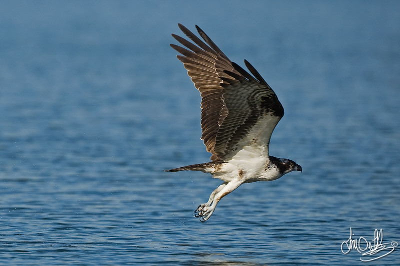 #1 in a 6 shot behavioral series<br /> <br /> Osprey cleaning its talons