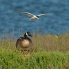 #2 in a 3 shot behavioral series <br /> <br /> A Forster's Tern trying to defend its nesting site from an unfortunate trespassing Canadian Goose<br /> Bolsa Chica Wetlands •Huntington Beach, CA