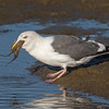 #13 in a 21 shot behavioral series<br /> <br /> A Western Gull with an Octopus, low tide feeding.<br /> Bolsa Chica Wetlands • Huntington Beach, CA