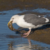 #4 in a 21 shot behavioral series<br /> <br /> A Western Gull with an Octopus, low tide feeding.<br /> Bolsa Chica Wetlands • Huntington Beach, CA