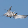 Elegant Tern Fight