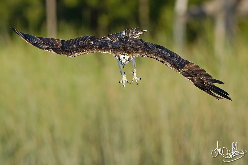 Osprey dive sequence 1 of 6