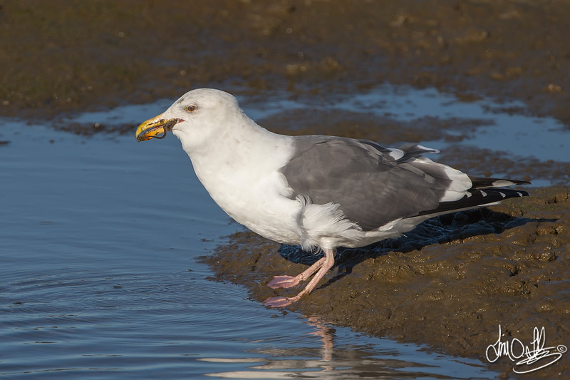 #20 in a 21 shot behavioral series<br /> <br /> A Western Gull with an Octopus, low tide feeding.<br /> Bolsa Chica Wetlands • Huntington Beach, CA