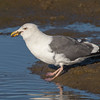 #20 in a 21 shot behavioral series<br /> <br /> A Western Gull with an Octopus, low tide feeding.<br /> Bolsa Chica Wetlands • Huntington Beach, CA